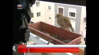 Cria de falcão nasce em floreira de apartamento de Lisboa - SIC Notícias.mp4