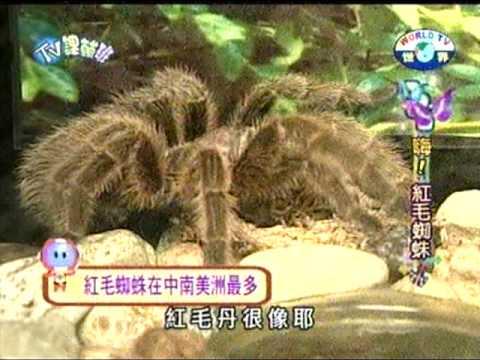 【不是昆蟲】紅毛蜘蛛 - YouTube