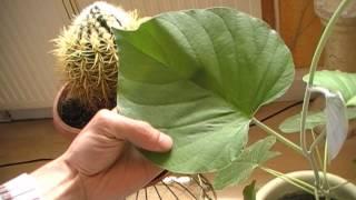 Herzblattpflanze schaut sich um - Hawaiianische Holzrose