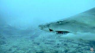 Sand Tiger shark bite! April 7, 2018