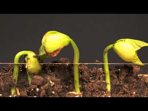 Lima Bean Time Lapse - YouTube