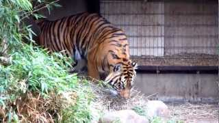 Bengal Tiger Growling & Walking  - Smithsonian National Zoo, Washington D.C.