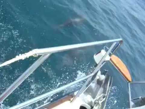 Dolphins in Straits of Gibraltar