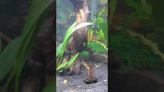 Pygmy Cory and Celestial Pearl Danios