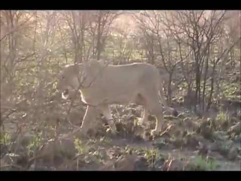 Pilanesberg elephants charge lions