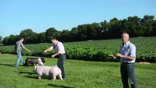 Training Show Pigs