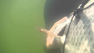 pesca de mojarra tilapia con arpon en el rio balsas