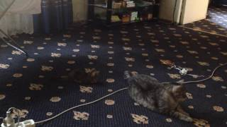 Little cat chases tomcat's tail...