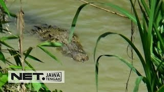 Kemunculan Buaya di Sungai Luk Ulo Kebumen Menghebohkan Warga - NET JATENG