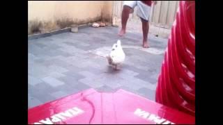 Pato jogador de futebol
