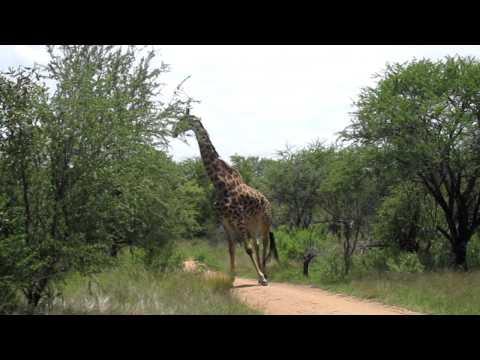 Jessie's Journeys – South Africa – Giraffe – 2