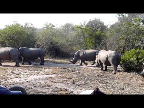 Rhinos Having Breakfast – Mala Mala, South Africa