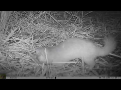 龍崎牛埔自然生態之美 2-6 鼬獾
