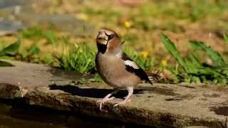 The hawfinch - Bico grossudo