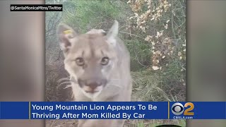Santa Monica Mountain Lion Remarkably Found Alive After Mother's Death