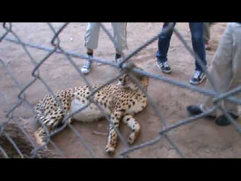 WC10 South Africa Cheetah Petting