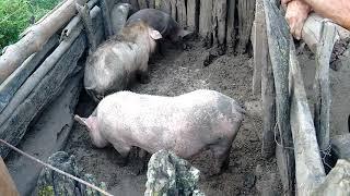 Como o porco conquista a porca