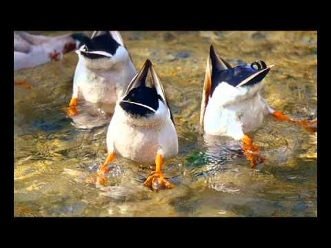 raffi-ducks-like-rain-spainlessm