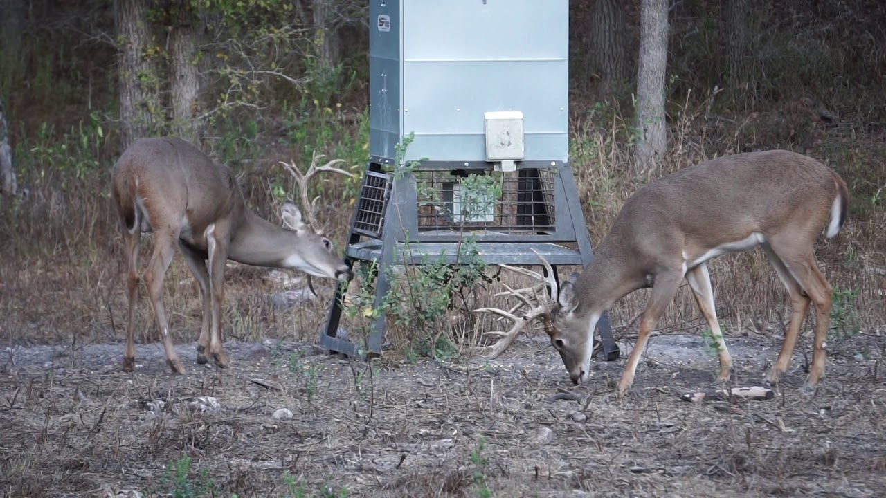 Bucks at Feeder