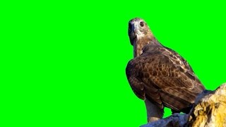 Birds of Prey (Real) 4 1080p Green Screen FX