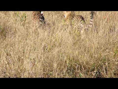 Young Cheetahs playing in the wild