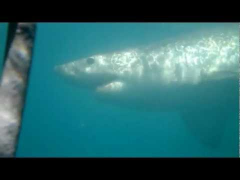 Cage diving for great white sharks