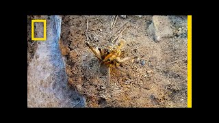 Watch a Male Tarantula Risk Death for Sex | National Geographic