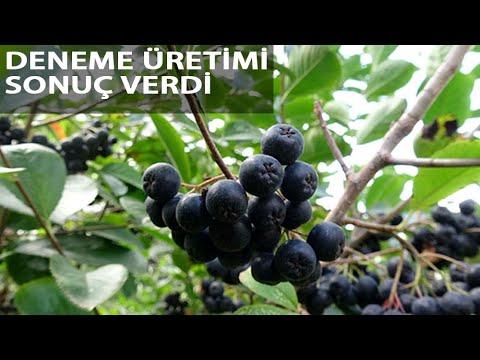 'Aronya' Meyvesi Karadeniz'e Yayılıyor