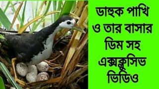 Wild Bird Incubating Eggs In Nest// ডাহুক পাখি ও তা বাসার ডিম সহ এক্সক্লুসিভ ভিডিও //