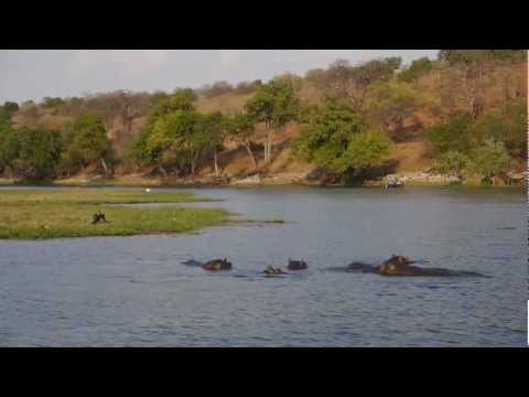 Hippos Swimming in the Chobe River, South Africa – 2 Idiots Abroad
