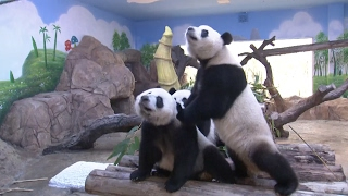 World's Only Giant Panda Triplets Adapt to New Habitat