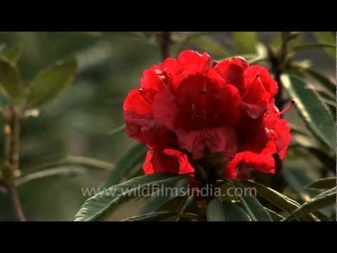 Rhododendron arboreum flowering in north-east India
