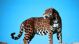Rugido de Jaguar   Panthera onca