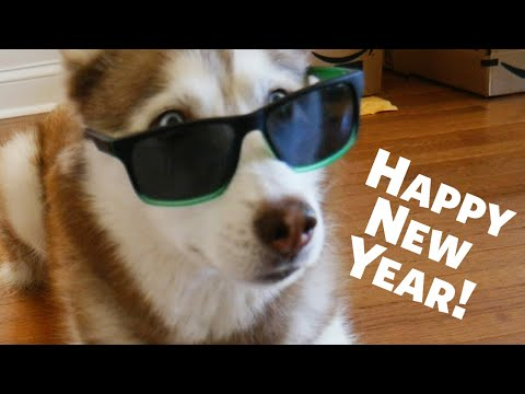 Happy New Years from Laika the Husky