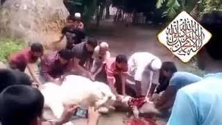 معجزه الله سبحان وتعاله شوفو الكلاب شلون يذبحون البقره