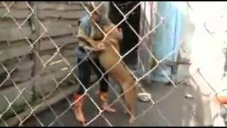 L'aggressività dei cani  da combattimento     grrrrrr