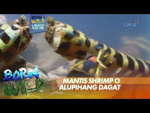 Born to be Wild: Lamang dagat na may pambihirang 'power punch,' bibida ngayong Linggo!