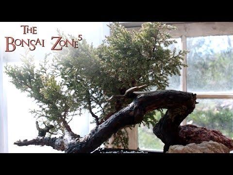Blade Runner Style Juniper Bonsai, The Bonsai Zone, Part 3, May 2018