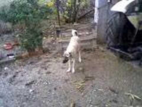 kangal köpek kavgası