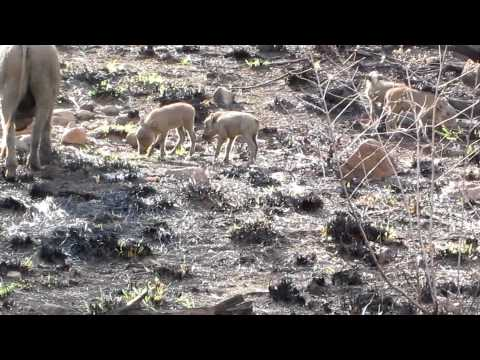 Mother and Baby Warthogs – Pilanesberg National Park – South Africa – November 2011