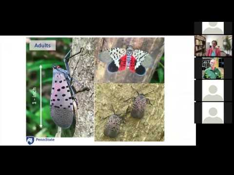 Spotted Lanternfly Basics for Hops, Berry, and Vegetable Growers