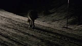 Canyon alpha female wolf walking on the road