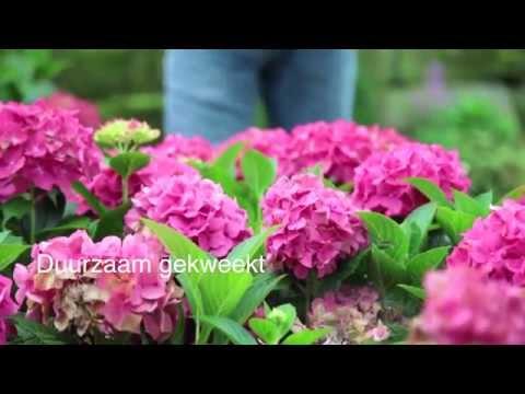Forever&Ever bloeitijd hortensia