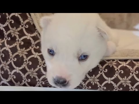 Meet our New White Siberian Husky Puppy!