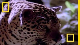 Jaguar vs. Croc | National Geographic
