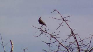 Pomba Juriti - Pássaro do Sertão