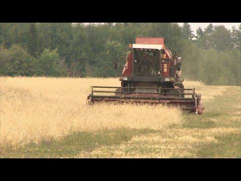 Засуха стала причиной низкой урожайность