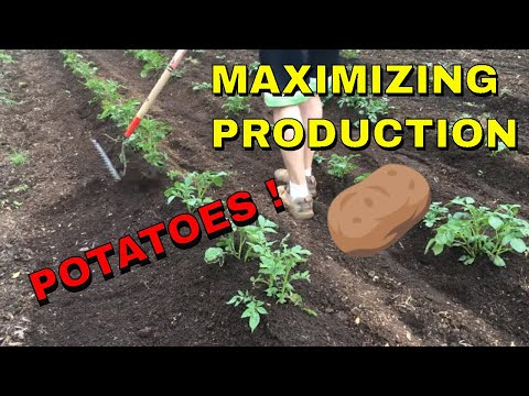 🥔🥔🥔 HILLING POTATOES BY HAND - FOR MAXIMUM PRODUCTION (2019) 🥔🥔🥔