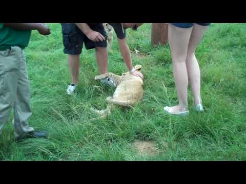 Playing with Lion Cubs Part 2
