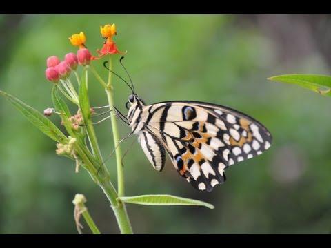 愛吃馬利筋葉子的蝴蝶幼蟲 - YouTube